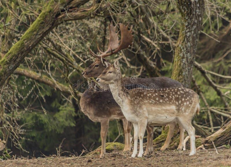 Ciervos en barbecho en cerca con los árboles en las montañas de Krusne en día de primavera foto de archivo libre de regalías