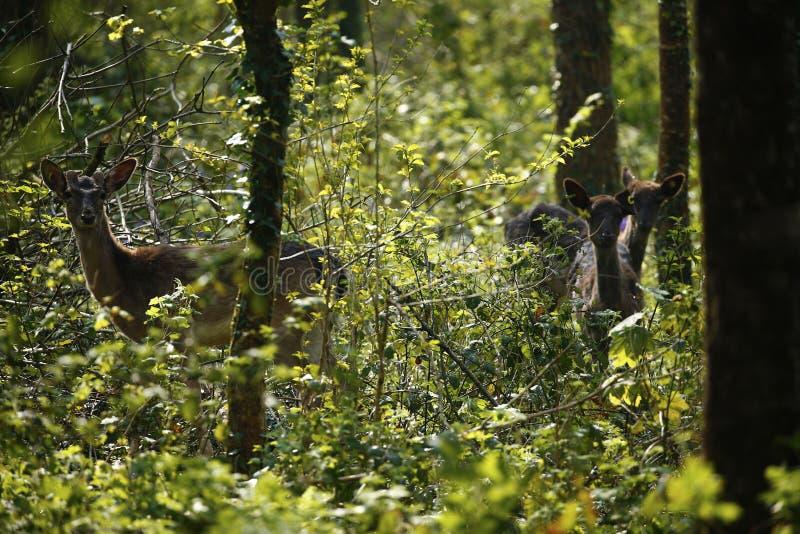Ciervos en barbecho del parque en argumentos del parque de los ciervos de Dartington imágenes de archivo libres de regalías