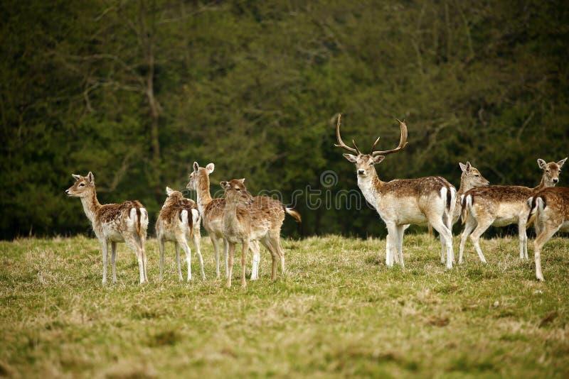 Ciervos en barbecho del parque en argumentos del parque de los ciervos de Dartington fotografía de archivo libre de regalías