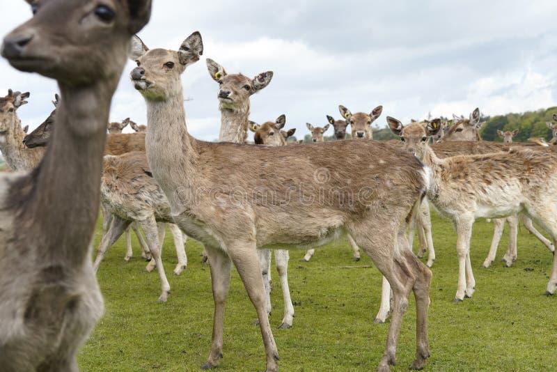 Ciervos en barbecho del parque en argumentos del parque de los ciervos de Dartington imagenes de archivo