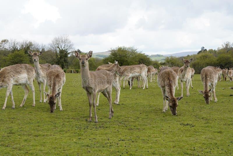 Ciervos en barbecho del parque en argumentos del parque de los ciervos de Dartington foto de archivo