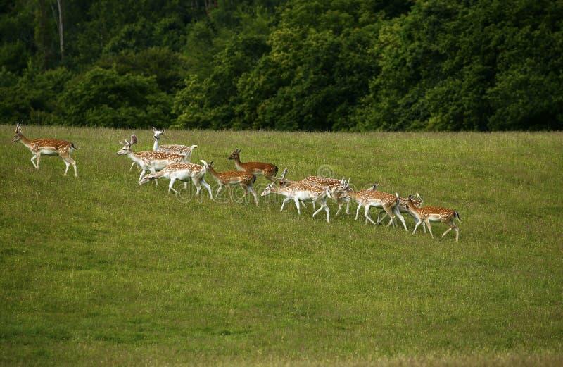 Ciervos en barbecho en la manada con la capa manchada del verano imágenes de archivo libres de regalías