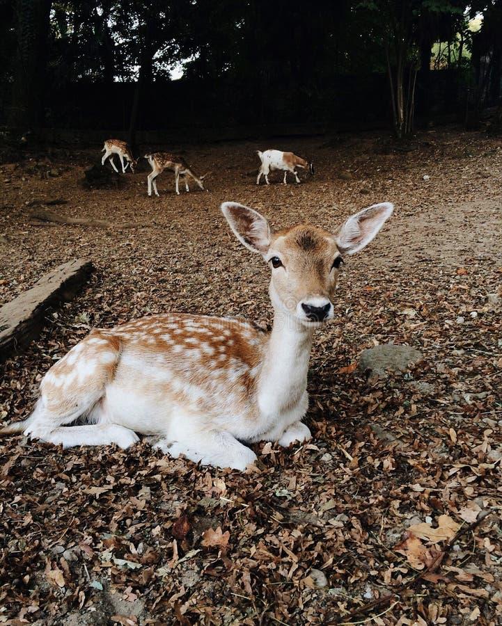 Ciervos en barbecho jovenes hermosos en parque del otoño foto de archivo