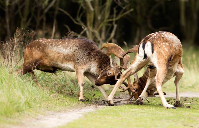 Ciervos en barbecho que luchan imagen de archivo