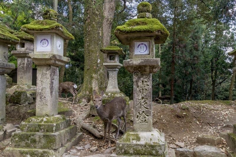 Ciervos en barbecho y linternas de piedra en la capilla de Kasuga de Nara, Japón fotografía de archivo