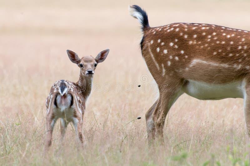 Ciervos en barbecho y madre jovenes en prado fotos de archivo libres de regalías