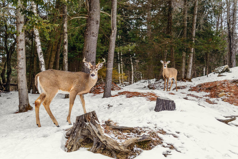 Ciervos en el invierno (parque de Omega de Quebec) fotografía de archivo