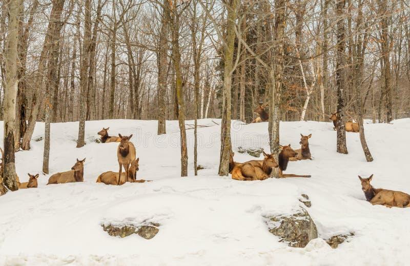 Ciervos en el invierno (parque de Omega de Quebec) imagen de archivo libre de regalías