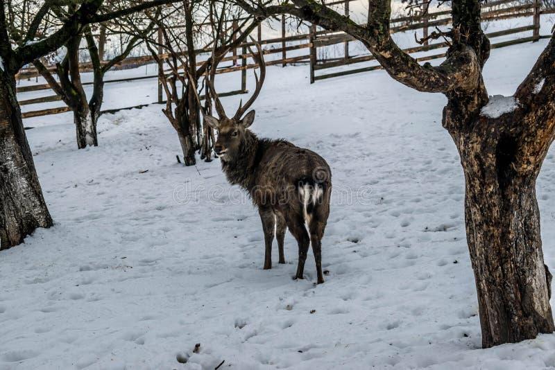 Ciervos en el jardín en la nieve en invierno imagenes de archivo