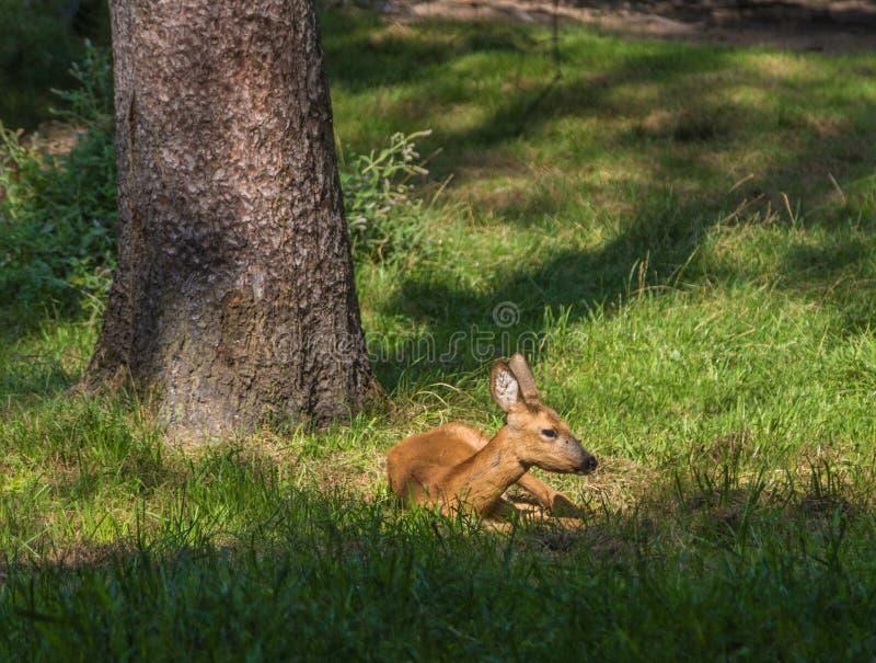 Ciervos en el parque fotografía de archivo libre de regalías