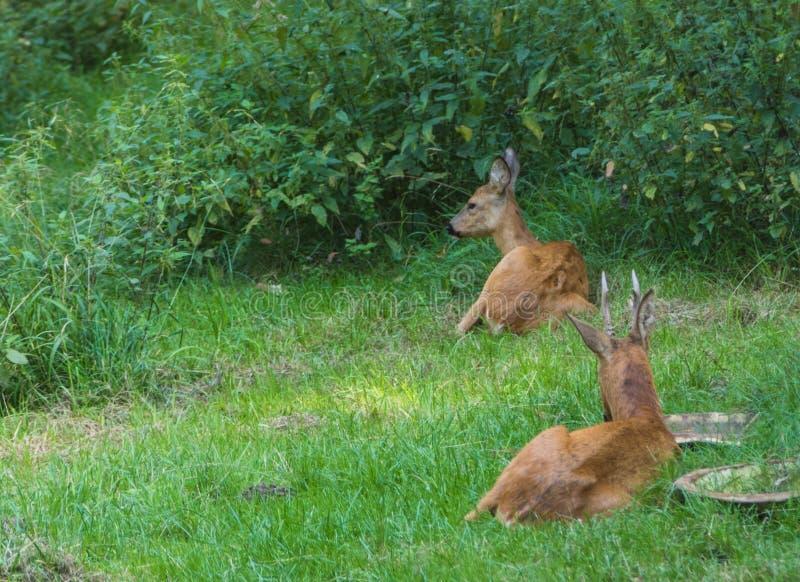 Ciervos en el parque fotos de archivo