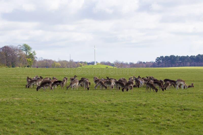 Ciervos en el parque de Phoenix - Dublín fotos de archivo
