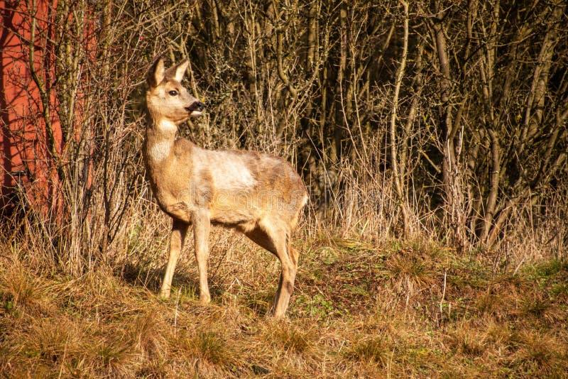 Ciervos en fauna Ciervos en los arbustos Fauna en la República Checa foto de archivo libre de regalías