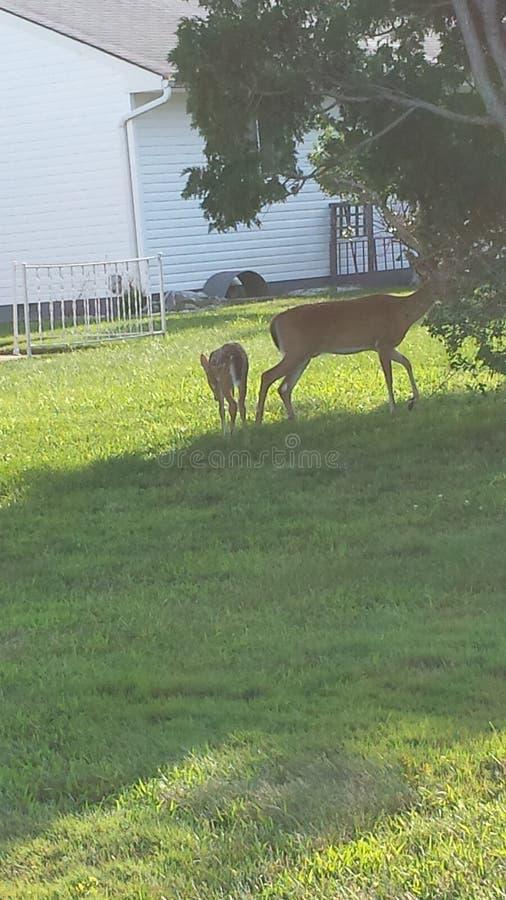 Ciervos en la casa de la gente en New Jersey imagen de archivo