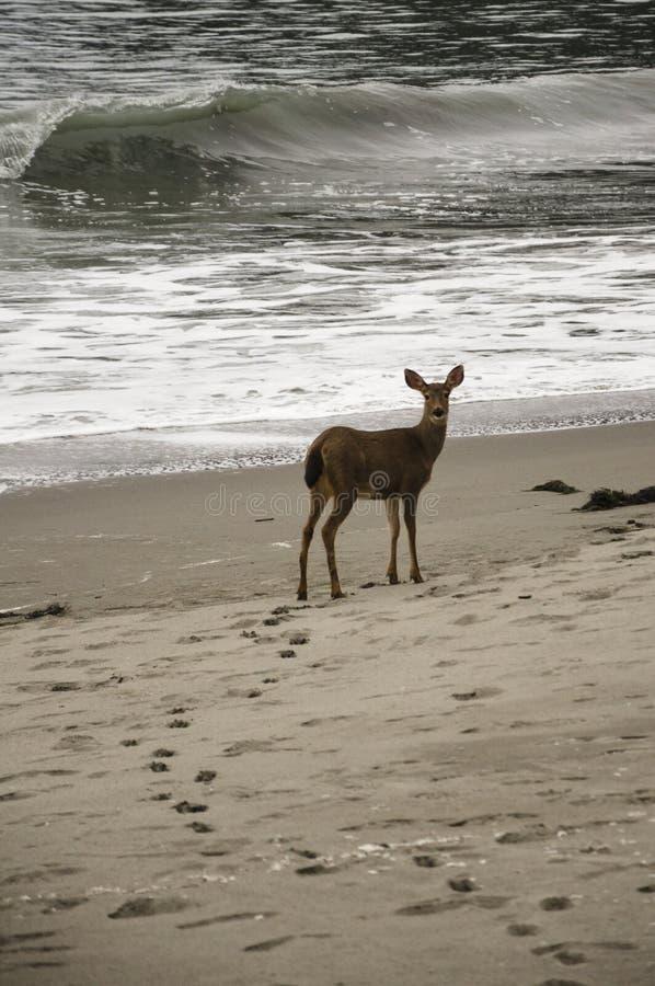 Ciervos en la playa imagen de archivo libre de regalías