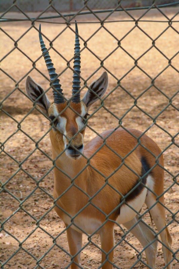 Ciervos en parque zoológico fotografía de archivo