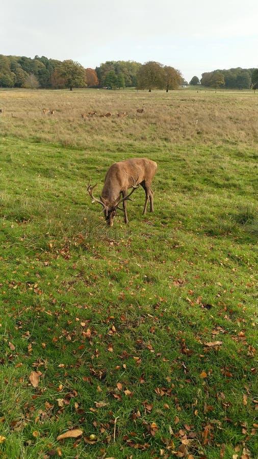 Ciervos en reserva de naturaleza del parque de Tatton foto de archivo