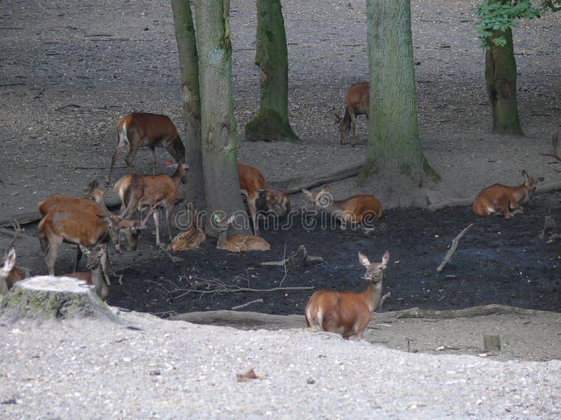 Ciervos en un bosque imagenes de archivo