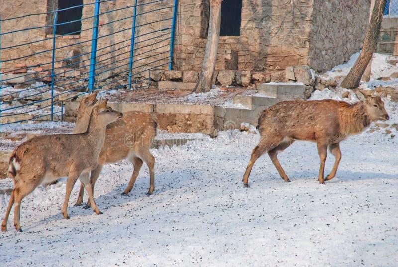 Ciervos en un parque zoológico imagenes de archivo