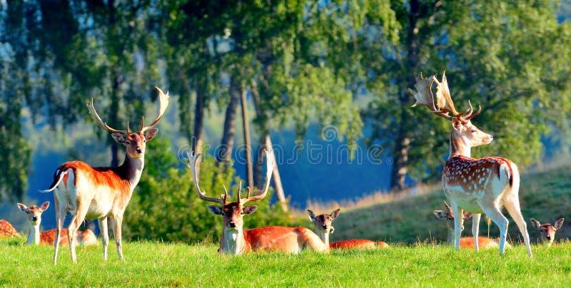 Ciervos en verano imagen de archivo libre de regalías