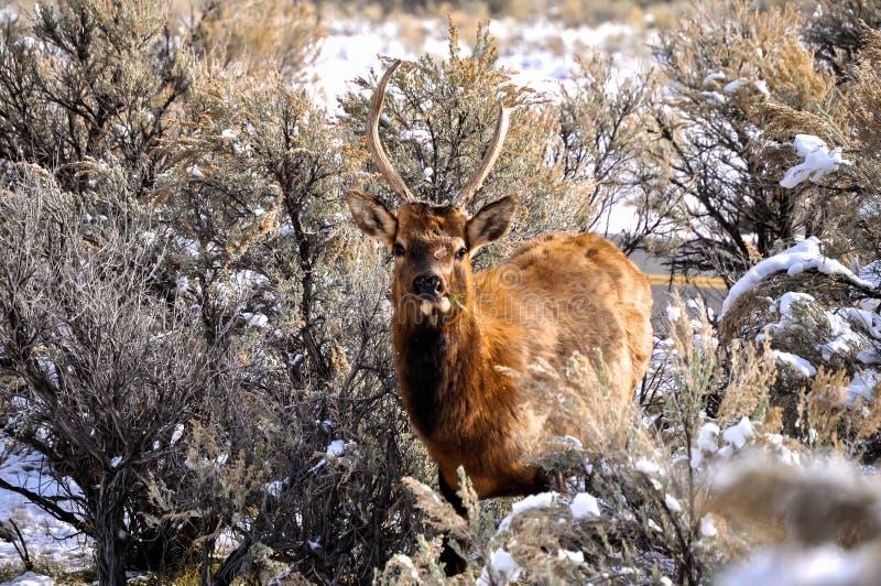 Download Ciervos en Yellowstone imagen de archivo. Imagen de salvaje - 42445045