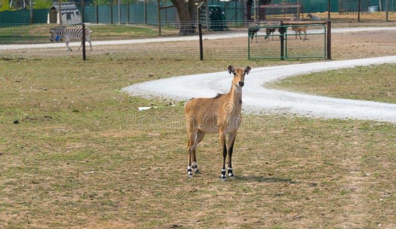 Ciervos grandes en una granja del safari del país imagen de archivo
