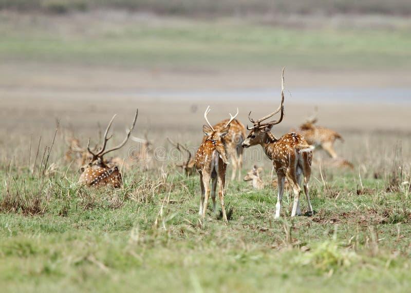 Ciervos hermosos de Cheetal en el prado de Jim Corbett foto de archivo