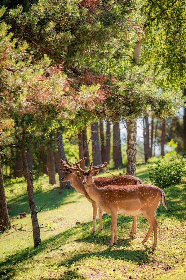 Ciervos hermosos en el bosque en el amanecer, Europa fotografía de archivo libre de regalías