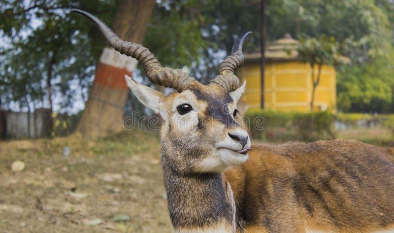 Ciervos indios fotos de archivo