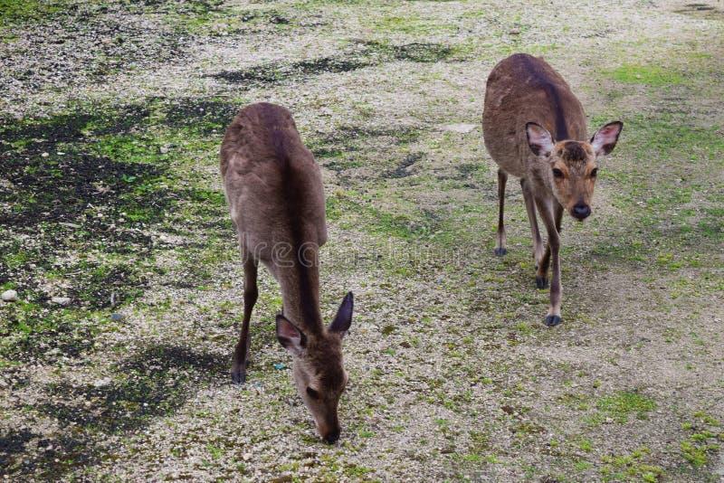 Ciervos japoneses imagenes de archivo
