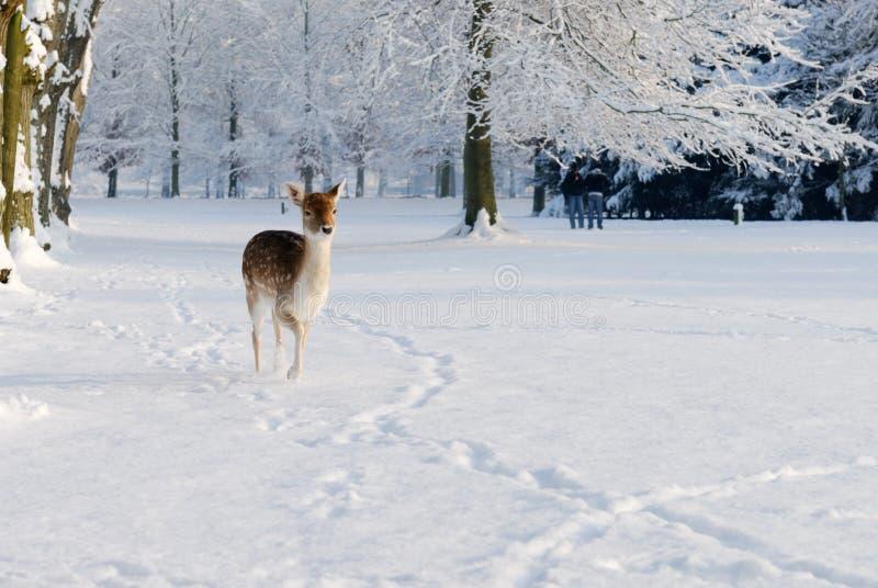 Ciervos lindos en invierno fotografía de archivo