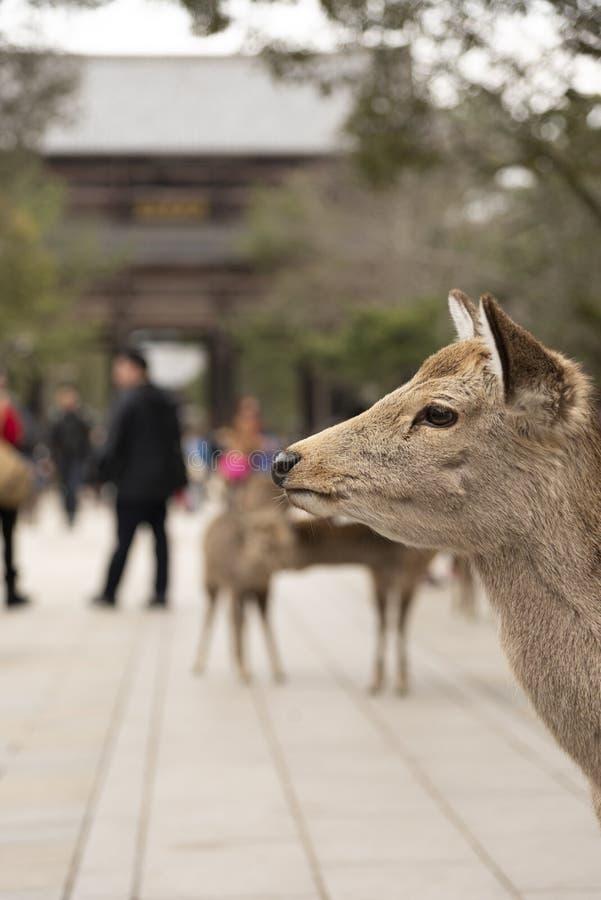 Ciervos locales de un Japón en el parque de Nara ciudad del patrimonio mundial en Japón imagenes de archivo