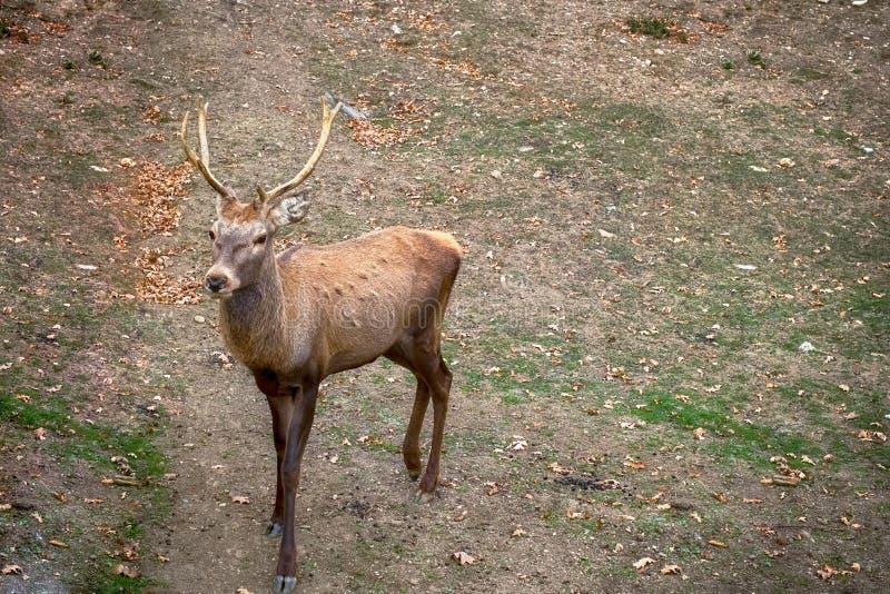 Ciervos marrones cárpatos con los cuernos ramificados en naturaleza imagen de archivo libre de regalías
