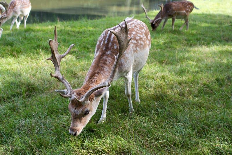 Ciervos masculinos Dappled que comen la hierba fotografía de archivo libre de regalías