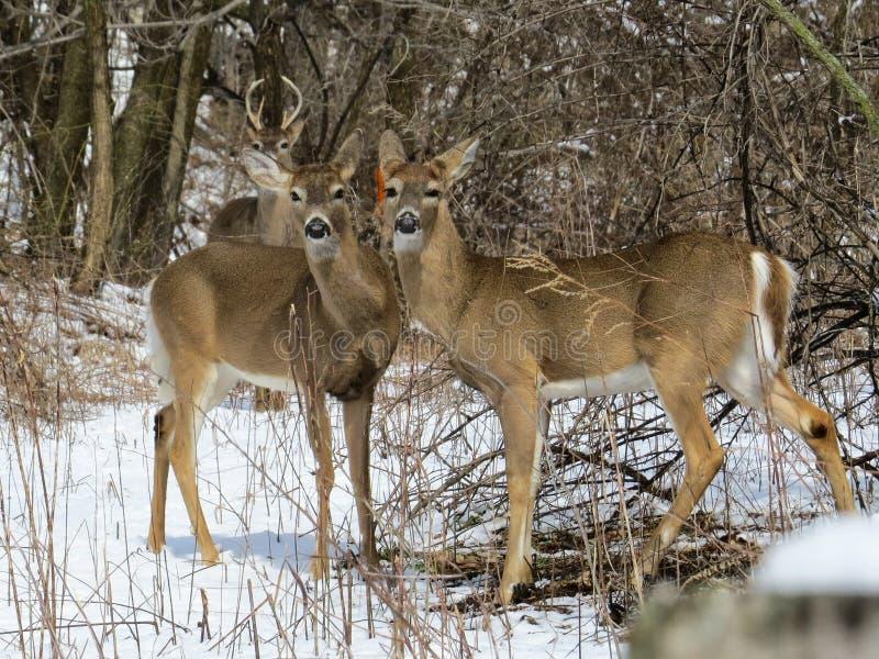 Ciervos masculinos y femeninos en la nieve que presenta todo derecho para la cámara fotos de archivo libres de regalías