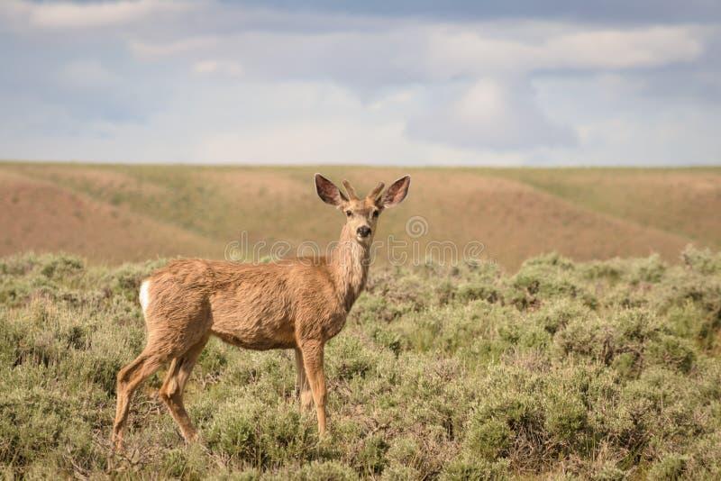 Ciervos mula Buck In Colorado joven foto de archivo libre de regalías