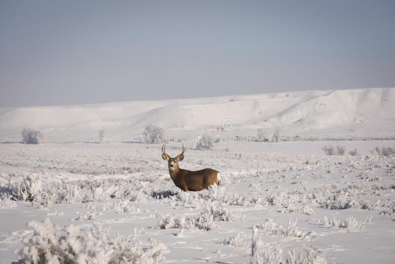 Ciervos mula Buck With Misty Winter Background fotografía de archivo