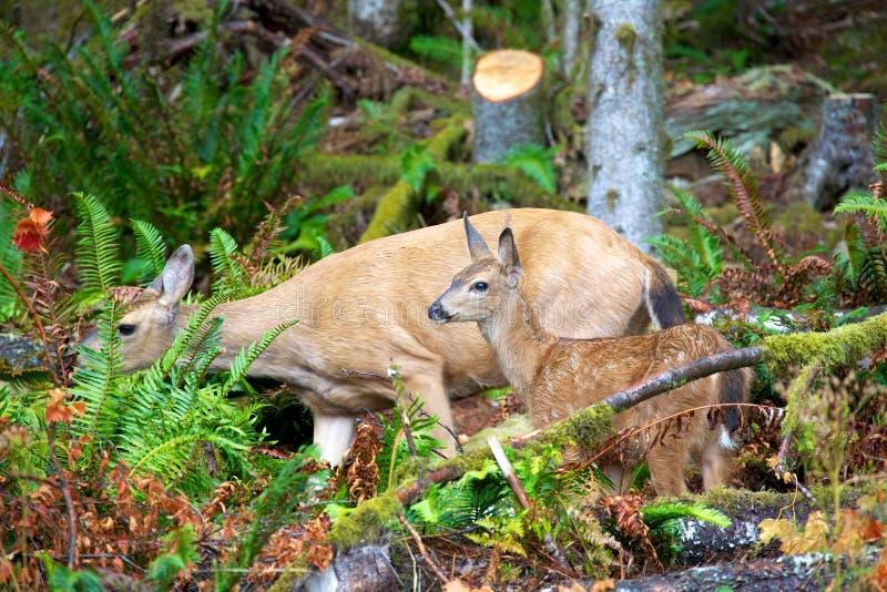 Ciervos mula de la madre y del bebé en la Columbia Británica Canadá imágenes de archivo libres de regalías