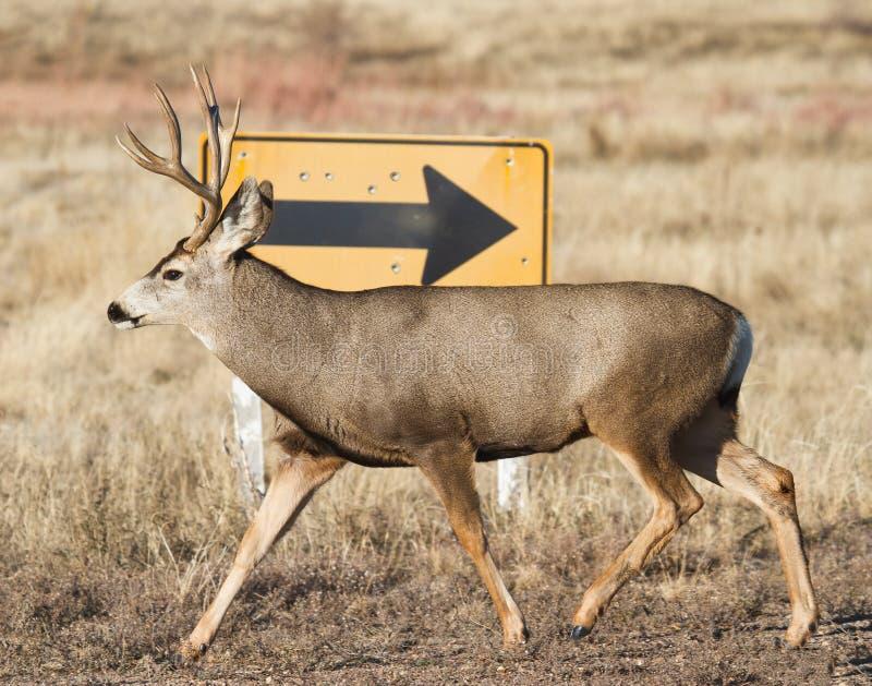 Ciervos mula en Colorado fotos de archivo