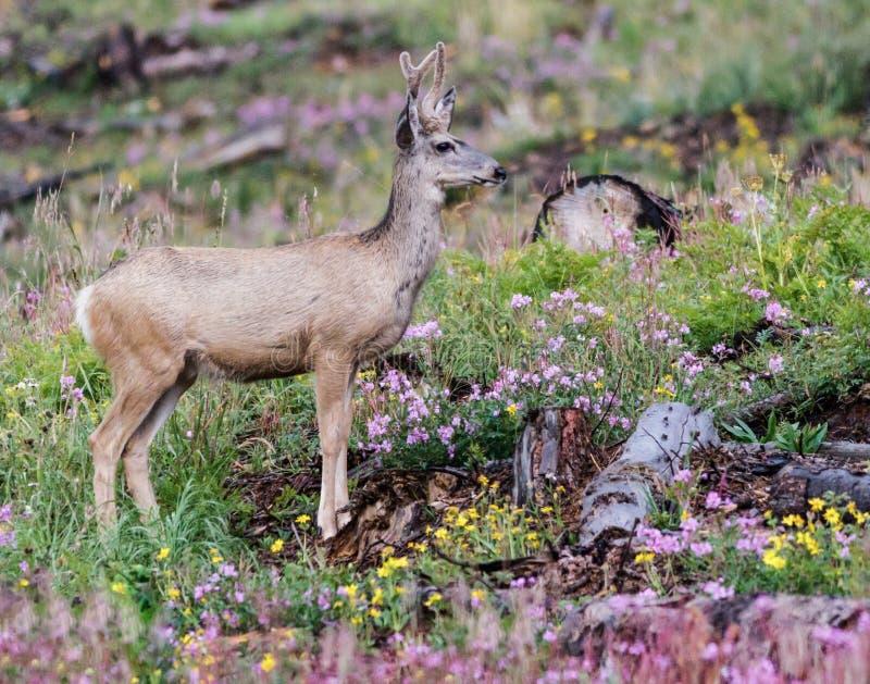 Ciervos mula en Colorado fotos de archivo libres de regalías