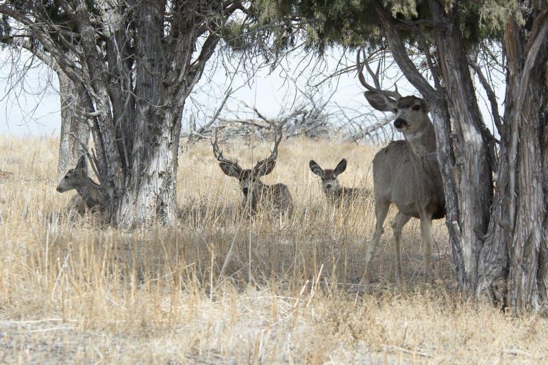 Ciervos mula en la arboleda de árboles fotografía de archivo