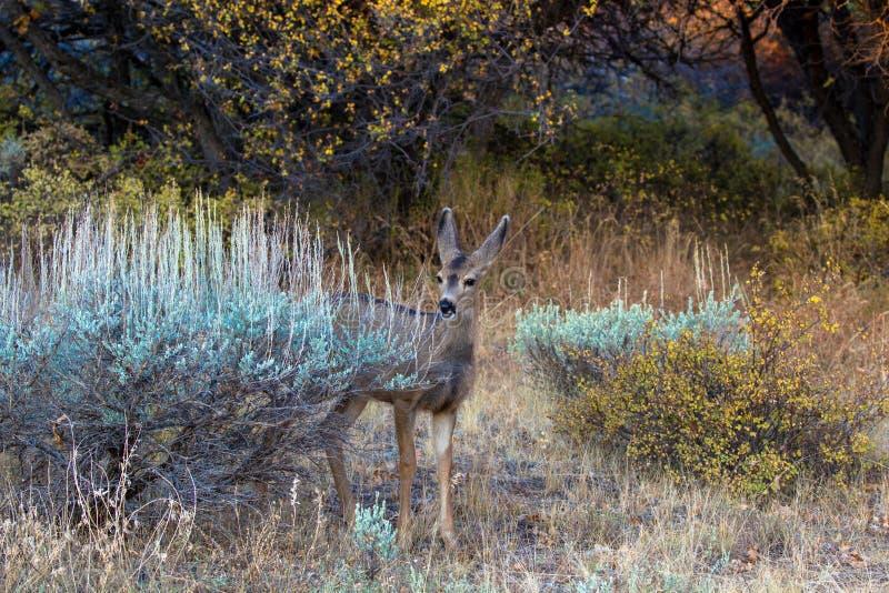 Ciervos mula en otoño en el barranco negro del parque nacional de Gunnison en Colorado fotos de archivo