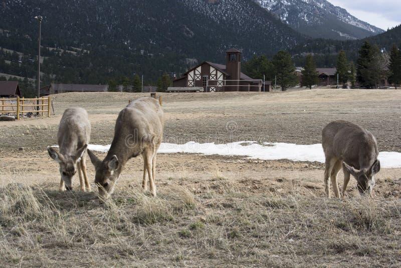Ciervos mula que comen por el lado del camino imagenes de archivo