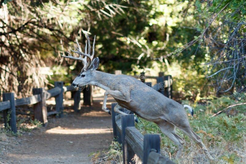 Ciervos mula que saltan una cerca imagen de archivo