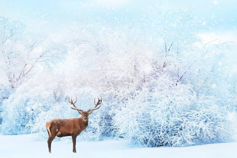 Ciervos nobles en el fondo de los árboles blancos en la nieve en el paisaje hermoso del invierno del bosque La Navidad fotografía de archivo