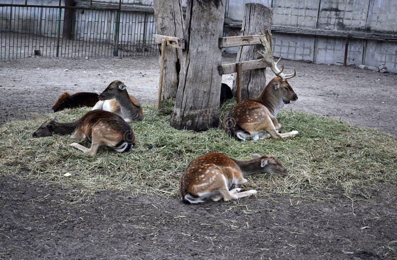 Ciervos, o ciervos imagen de archivo libre de regalías
