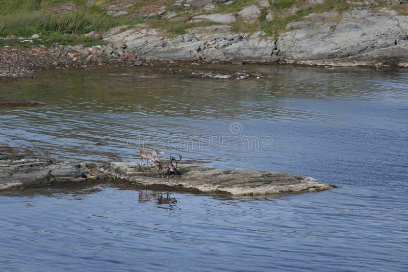 Ciervos por el agua fotografía de archivo libre de regalías