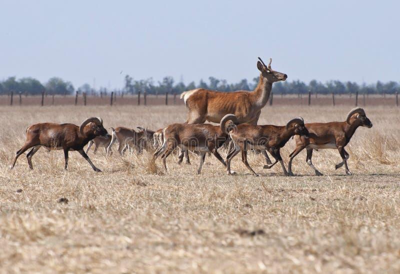 Ciervos que corren con una manada de ovejas fotografía de archivo libre de regalías