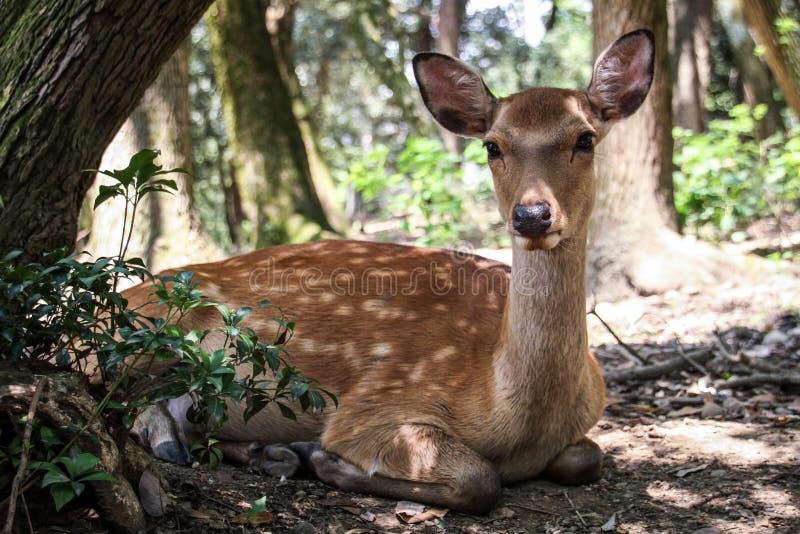 Ciervos que se enfrían en la sombra, Nara, Kansai, Japón fotos de archivo libres de regalías