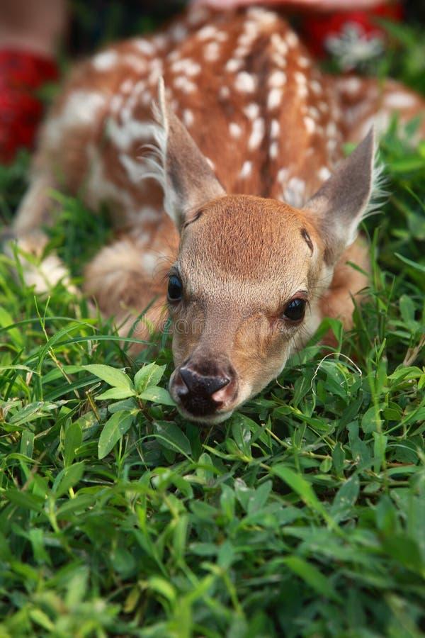 Ciervos recién nacidos foto de archivo libre de regalías